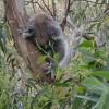 Koalas at hands reach