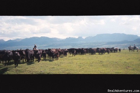 Moving Cattle - Box R Ranch : A True West Experience