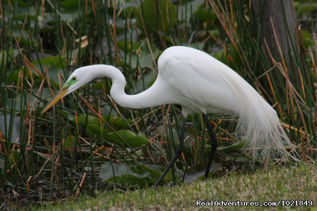 Great Egret in breeding plumage - Everglades Day Safari