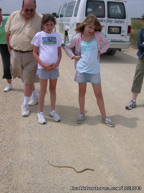 Safari guests check out a Glass Lizard - Everglades Day Safari
