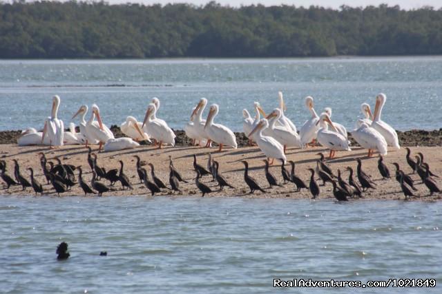 Cormorants and White Pelicans (#15 of 19) - Everglades Day Safari