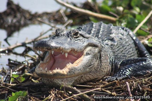American Alligator - Everglades Day Safari