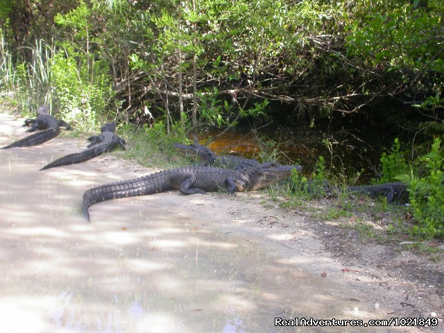 American Alligators (#16 of 19) - Everglades Day Safari