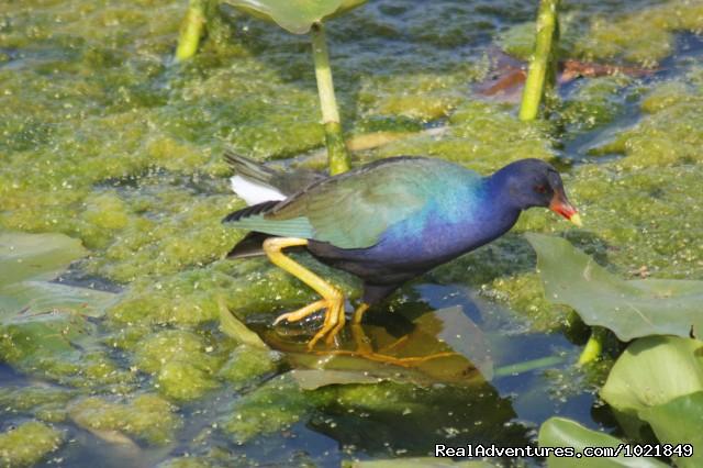 Purple Gallinule (#3 of 19) - Everglades Day Safari