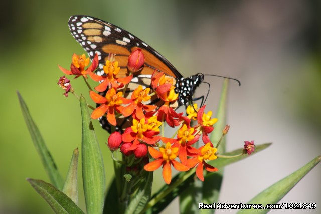 Monarch Butterfly (#7 of 19) - Everglades Day Safari