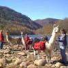 New River Llama Treks Llama Trekking Edmond, West Virginia
