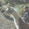 New River Llama Treks Llama Trekking West Virginia
