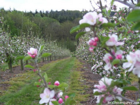 Apple orchards - Hallwood Farm Oast Bed and Breakfast