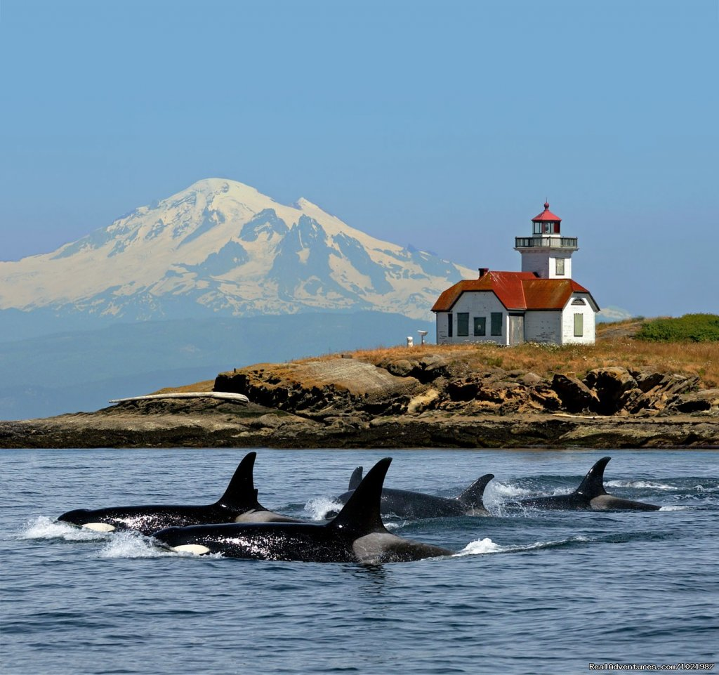 Orca Whales Near The Patos Island Lighthouse | Image #1/4 | Bellingham, Washington  | Whale Watching | Whale Watching Adventure / Friday Harbor Cruise