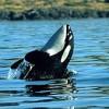 Orca Whale Spy Hop
