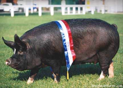 Berkshire pig - Smallicombe Farm