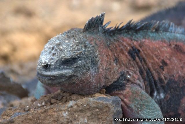 Iguana (#21 of 22) - Explore the Galapagos Islands with Andean Trails