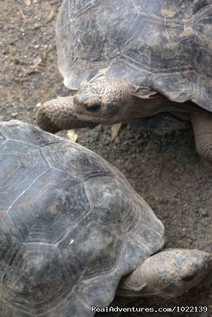 Giant Tortoises (#14 of 22) - Explore the Galapagos Islands with Andean Trails