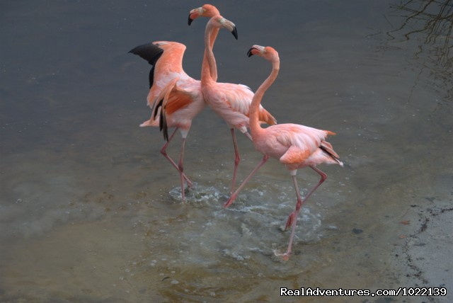 Flamingos - Explore the Galapagos Islands with Andean Trails