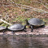 Turtles on the Santa Fe River