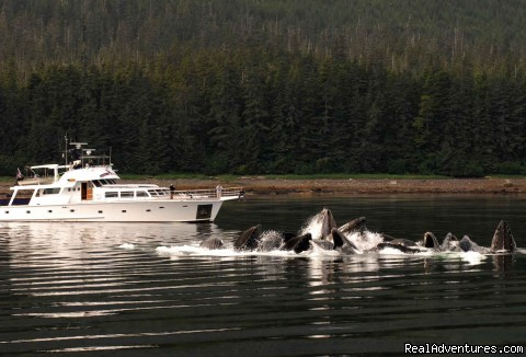 Bubble Feeding Humpback Whales (#1 of 26) - Alaska Yacht Charters Aboard Alaskan Song