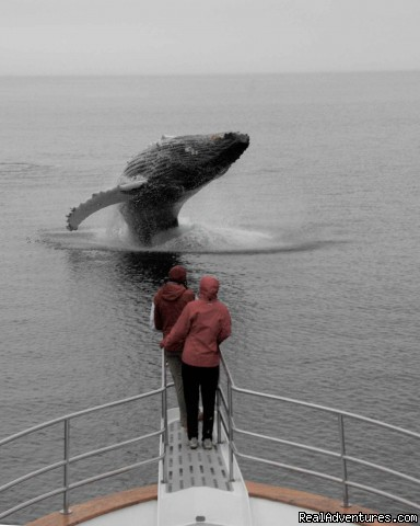 A whale breaches on the bow - Alaska Yacht Charters Aboard Alaskan Song