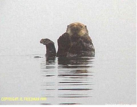 Sea Otter (#11 of 26) - Alaska Yacht Charters Aboard Alaskan Song