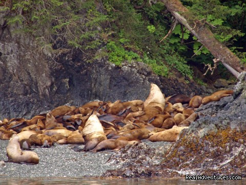 Sea Lions (#26 of 26) - Alaska Yacht Charters Aboard Alaskan Song