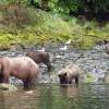 Sow Brown Bear wtih Three Cubs