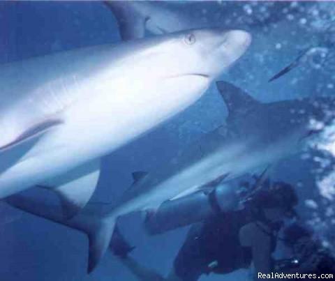 Shark Dive - Blackbeard's Cruises Bahamas Scuba Liveaboard