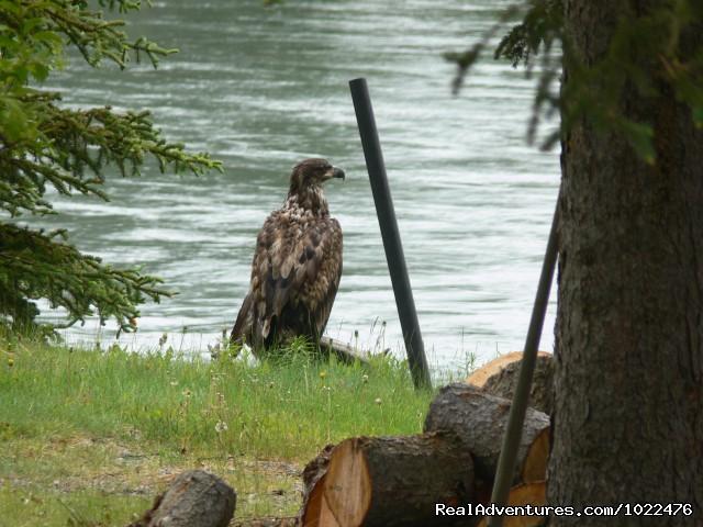 A Juvenile Bald Eagle (#16 of 20) - Alaska Adventures at Krog's Kamp