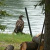 A Juvenile Bald Eagle