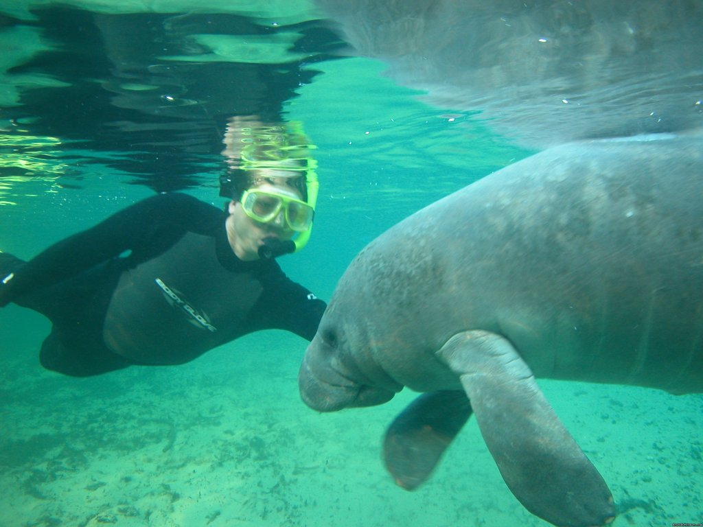 Getting to know you. | Image #2/8 | Snorkeling with Manatees in Crystal River