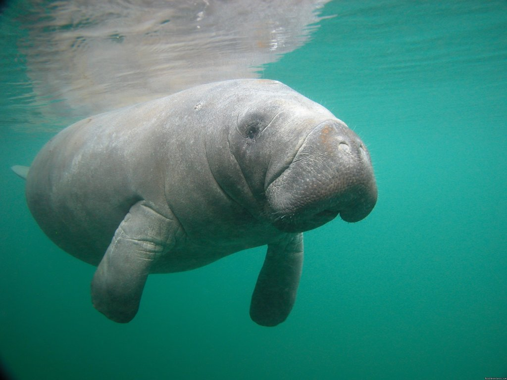 Snorkel with Florida Manatees in their natural environment. Crystal River Florida is 70 miles from Orlando. Waterfront vacation rental houses also available through Bird's Underwater Dive Center. Kayaks available for rent. Winter has best conditions.