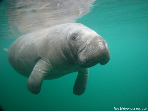 Snorkeling with Manatees in Crystal River Crystal River, Florida Eco Tours