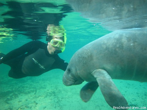 Getting to know you. - Snorkeling with Manatees in Crystal River