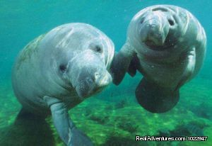 Hey, I brought a friend - Snorkeling with Manatees in Crystal River