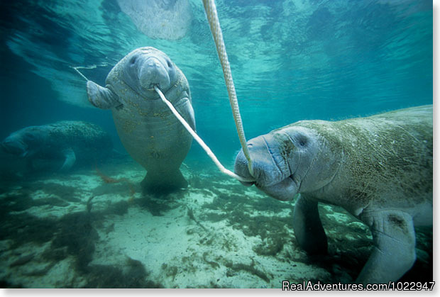 Flossing manatee style - Snorkeling with Manatees in Crystal River