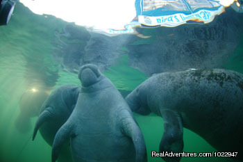 Altogether now... - Snorkeling with Manatees in Crystal River