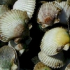 Fresh scallops for dinner?