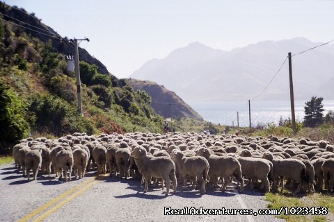 New Zealand traffic jam - Pedaltours Bicycle Adventures