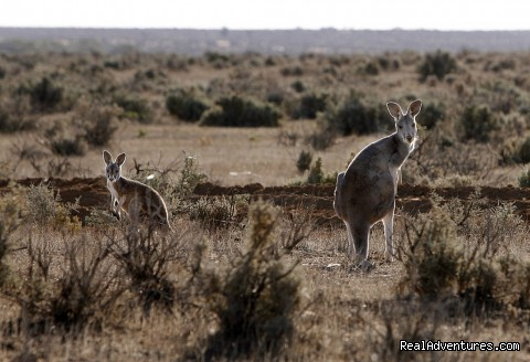 Broken Hill Corner Country Adventure Tours: Kangaroos near Tibooburra