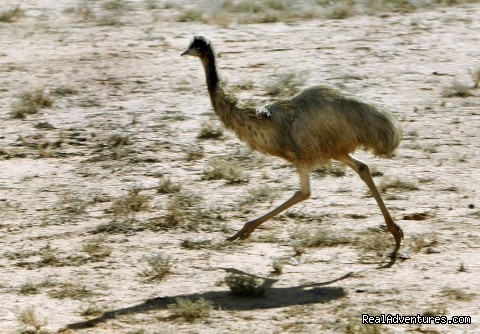 Emu on the run - Broken Hill Corner Country Adventure Tours