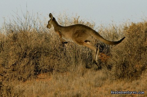 Skippy the Kangaroo - Broken Hill Corner Country Adventure Tours