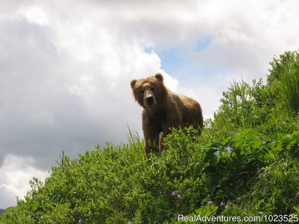 Kodiak Brown Bear | Image #6/11 | Alaska's Kodiak Wilderness Sport Fishing