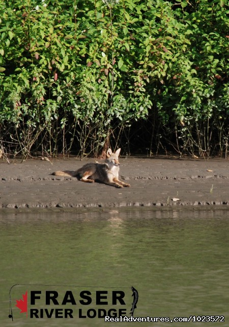 Coyote sunbathing