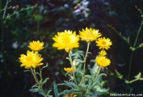 Native paper daisy - Aussie B & B with Sensory forest walks and dining