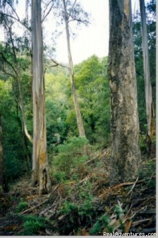 Giant eucalypt trees - Aussie B & B with Sensory forest walks and dining