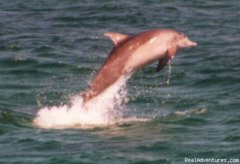 Leaping Dolphins - Dolphin Explorer Cruises