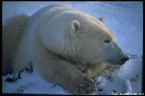 Polar Bears of Churchill