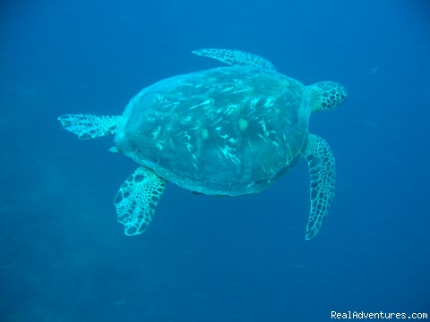 turtle at apo - the One Love Dive Shop great diving&gourmet meals