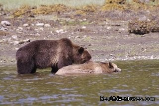 horny male after Lenore (#5 of 11) - See Grizzly Bear Eat Salmon