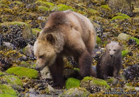 Lenore & cub early May - See Grizzly Bear Eat Salmon