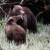 See Grizzly Bear Eat Salmon Wildlife & Safari Tours Abbotsford, British Columbia
