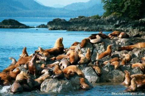 Steller Sea Lions (#8 of 24) - Alaska Sea Adventures YachtAlaska